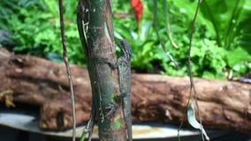 Een kleine hagedis met een lange staartcamouflages tegen de Leguaan van de regenwoudboom bij Groene Planeet in Doubai stock footage