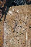 Een kleine hagedis op gesneden stenen royalty-vrije stock foto's