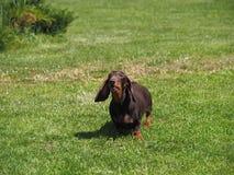 Een kleine hond met het hangen oren het ontschorsen stock foto's