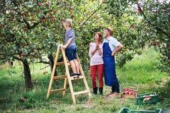 Een kleine jongen die met zijn gradparents appelen in boomgaard plukken stock afbeeldingen