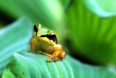 Een kleine kikker op lotusbloemblad royalty-vrije stock foto's