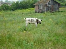 Een kleine koe op het gebied stock afbeelding