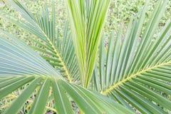 Een kleine kokosnoot. Royalty-vrije Stock Foto's