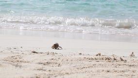 Een kleine krab die van het water lopen stock footage