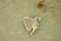 Een kleine krab op de bodem van het overzees Stock Fotografie
