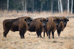 Een kleine kudde van grote rode bizon met grote hoornen die zich op het gebied op de achtergrond van het bos bevinden Stock Afbeeldingen
