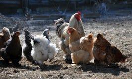 Een kleine kudde van kippen en een haan Royalty-vrije Stock Foto