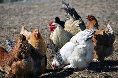 Een kleine kudde van kippen en een haan Stock Foto's