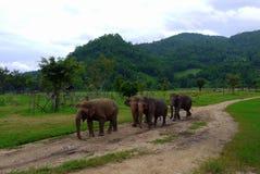 Een kleine kudde van olifanten loopt door het Noordelijke Thaise platteland Stock Foto