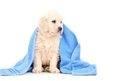 Een kleine labrador retriever hond die met blauwe handdoek wordt behandeld Stock Foto's