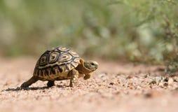 Een kleine leoaprdschildpad stock fotografie