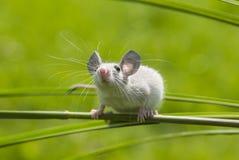 Een kleine muis Royalty-vrije Stock Afbeeldingen
