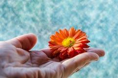 Een kleine oranje bloem in de hand van een vrouw royalty-vrije stock fotografie