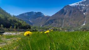 Een kleine Paardebloem bloeit gebied op groen gras met zachte nadruk van Flam Stock Afbeelding