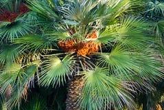 Een kleine palm met oranje vruchten Stock Foto's