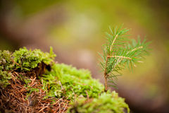 Een kleine pijnboom Royalty-vrije Stock Afbeelding