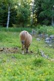 Een kleine poney die van Shetland op gras lopen Stock Afbeeldingen