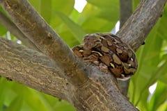 Een kleine python die op een boom liggen Royalty-vrije Stock Afbeelding