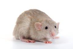 Een kleine rat Royalty-vrije Stock Afbeelding
