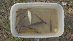 Een kleine riviervis drijft in plastic emmer stock footage