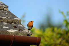 Een kleine rode chested vogel, Robin, zit op een betegeld dak net kijkend stock afbeelding