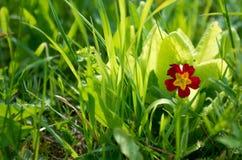 Een kleine rood-gele bloem met vijf bloemblaadjes royalty-vrije stock afbeelding