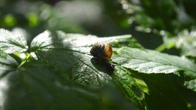 Een kleine slak op een groen blad stock video