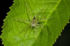 Een kleine spin op een blad Stock Foto