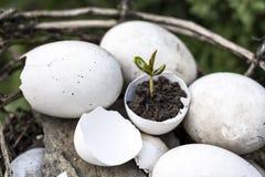 Een kleine spruit van een boom of een installatie groeit in de grond in een eierschaal op een witte achtergrond met ruimte voor t stock foto's