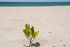 Een kleine spruit van een boom op het zandige strand Royalty-vrije Stock Afbeeldingen