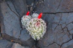Een kleine vishaakcactus met heldere rode vruchten groeit van een barst in doorstane basaltrots stock afbeeldingen