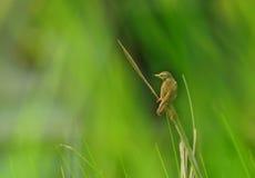 Een kleine vogel, Duidelijke Prinia Royalty-vrije Stock Foto