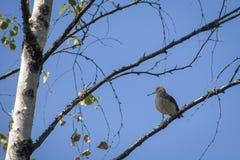 Een kleine vogel met een lange bek op een berktak stock afbeeldingen