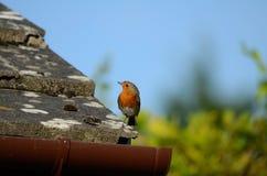 Een kleine vogel met rode borst, Robin, zit op de rand van een betegeld dak kijkend linker royalty-vrije stock fotografie