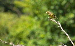 Een kleine vogel is op de bloem Stock Foto