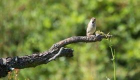 Een kleine vogel is op de tak Stock Foto