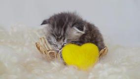Een kleine volbloed- kat met hangende oren slaapt in een mand 4K stock video