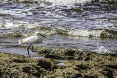 Een kleine witte aigrette die voedsel op de kust at low tide zoeken Royalty-vrije Stock Afbeeldingen
