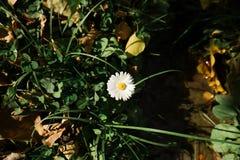 Een kleine witte bloem met geel stuifmeel bloeit in de werf stock fotografie
