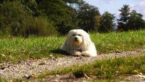 Een kleine witte hond ligt in de weide stock footage