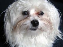 Een kleine witte Maltese hond royalty-vrije stock foto's