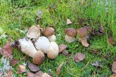 Een kleine witte paddestoel groeit op een mos Stock Afbeelding