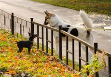 Een kleine zwarte hond en een grote witte hond bekijken elkaar door een kleine omheining royalty-vrije stock afbeeldingen