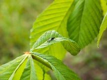 Een kleine zwarte vlieg die op een installatieblad rusten in de lentelicht Stock Afbeeldingen