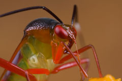 Een kleurrijk miridinsect/installatieinsect op sinaasappel wildflowe Stock Foto's