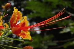 Een kleurrijke Hibiscusbloem bereikt binnen de wereld royalty-vrije stock afbeeldingen