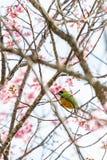 Een kleurrijke uiterst kleine oranje-Doen zwellen Leafbird-toppositie op Wilde Himalayan-Kersentak stock foto's