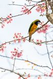 Een kleurrijke uiterst kleine oranje-Doen zwellen Leafbird-toppositie op Wilde Himalayan-Kersentak royalty-vrije stock afbeelding