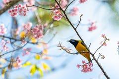Een kleurrijke uiterst kleine oranje-Doen zwellen Leafbird-toppositie op Wilde Himalayan-Kersentak stock fotografie