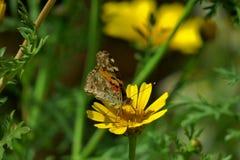 Een kleurrijke vlinder zit op een gele bloem stock fotografie